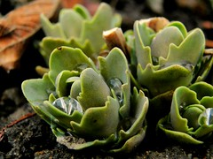 Regensammlermacro (Froschknig Photos) Tags: macro drops makro tropfen froschknig michau sonydschx1 froschknigphotos