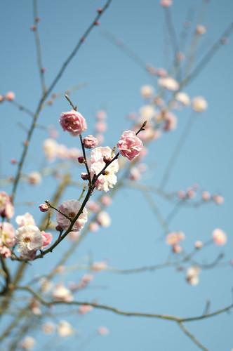 八柱霊園の梅