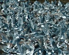 Uncontrolled Take Off (R J Ruppenthal) Tags: ocean blue seagulls storm beach birds clouds coast chaos pentax many britishcolumbia tide vancouverisland takingoff parksville ruppenthal frenzy thousands k7 herringseason vancouverislandphotographer