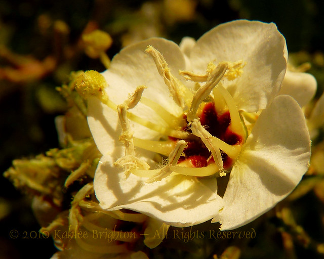 Brown-Eyed Evening Primrose