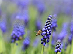 Grape Hyacinth  (sunnyha) Tags: flowers hk plant flower macro green nature closeup canon insect hongkong is spring purple blossom outdoor flor bee photograph 7d bloom usm   abeja   flowershow abeille photographier   grapehyacinth          muscaribotryoides beautyinnature f456  ef70300mmf456isusm ef70300mm hongkongflowershow  cmwd  canoneos7d  sunnyha hongkongflowershow2010 cmwspurple