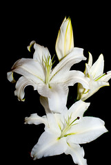lily (thedickieburd) Tags: flower lily flash backdrop pure sonyalphaa200