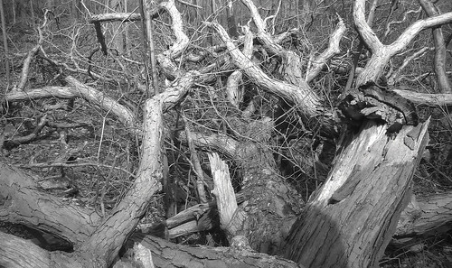fallen white oak crown