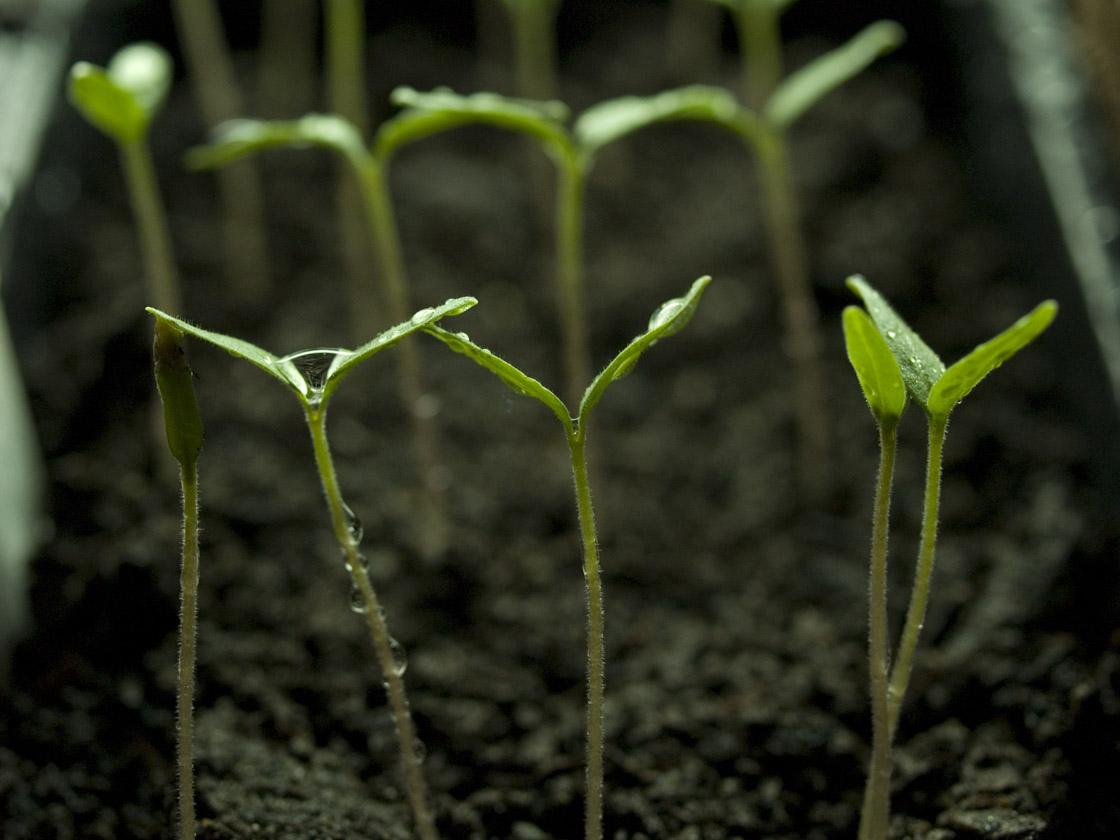 Tomato sprouts 3