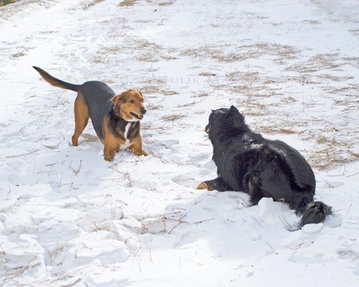 two dogs play bow in the snow