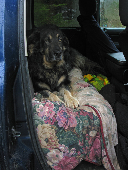 dog inside a truck on a rainy day, Kasaan, Alaska