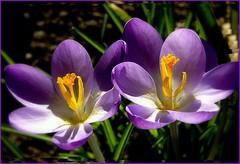 En duo. (Merlechanteur) Tags: crocus pollen dor posie merlesillumine