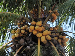 I've Got A Lovely Bunch Of Coconuts (CatwomanofV (AKA The Blind Photographer)) Tags: canon puertorico palm powershot palmtree coconuts catwomanofv