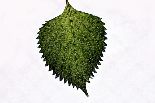 Leaf of perilla 02  /Material