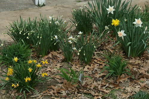 daffs at the back door