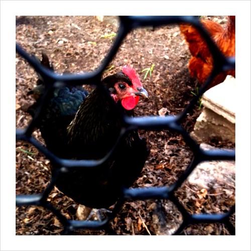 oh hai urban chickens
