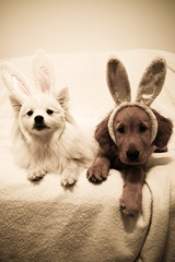 puppy bunnies (RileyMai) Tags: goldenretriever puppy milo pippin spitz americaneskimo happyeaster eskie explored