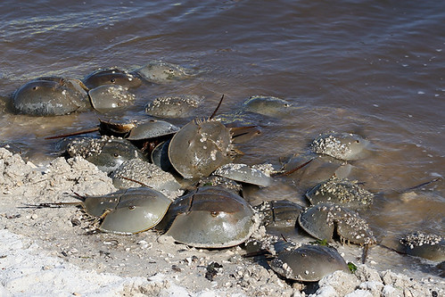 Atlantic Horseshoe Crabs at High Tide