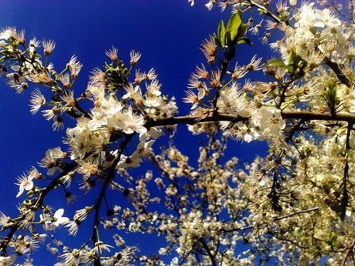 Cherryblossom blue
