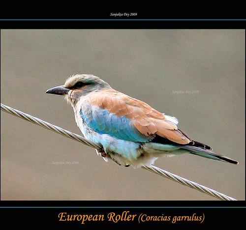 European Roller, (Coracias garrulus), Ladakh, Jammu & Kashmir, India - 31.08.09