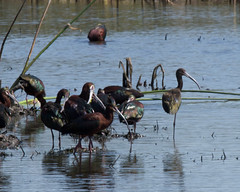 White-faced Ibis Photo