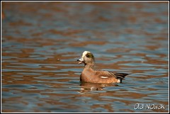 American Widgeon (OlaNowak) Tags: ontario canada bird nature birds animal fauna burlington duck nikon wildlife hamilton ducks sigma american americana lasalle waterfowl anas widgeon americanwigeon hfg wigeon d300 hamiltonharbour anasamericana kaczka baldpate americanwidgeon sigmalens kaczki hamiltonbay amerykanski lasallepark nikond300 swistun swistunamerykanski