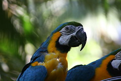 "02 09_ CR_ Zoo Ave_ Blue and Gold Macaw • <a style=""font-size:0.8em;"" href=""http://www.flickr.com/photos/30765416@N06/4520231515/"" target=""_blank"">View on Flickr</a>"