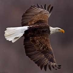 Wing Tip to Wing Tip View (Todd Ryburn) Tags: nature birds animal animals canon flickr eagle wildlife baldeagle iowa raptor mississippiriver eagles raptors 2010 baldeagles specanimal zenfolio avianexcellence lockdam14