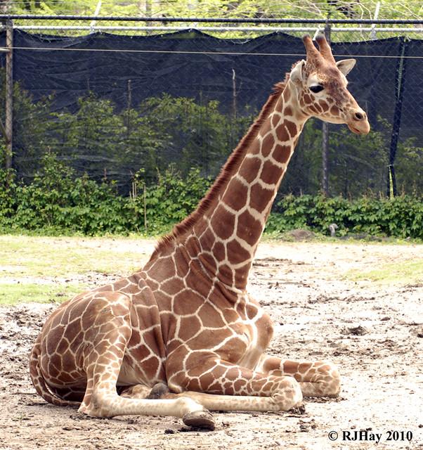 Young Giraffe - Audubon Zoo - New Orleans