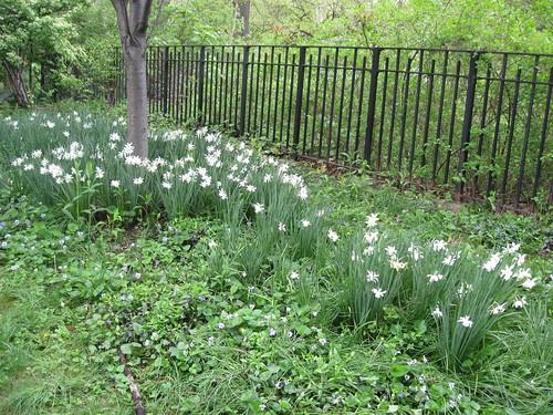 Pale White Daffodils