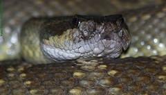 Crotalus Oreganus Oreganus 458 (snake handler) Tags: herps crotalusoreganusoreganus