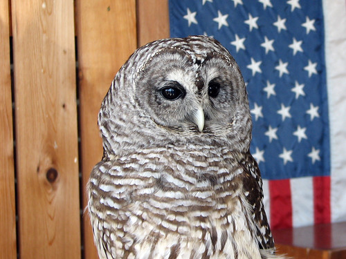 Meepy the Barred Owl