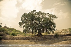 Standing Alone a Banyan Tree (Syed Sibt-e-Hassan) Tags: new old trees pakistan sky tree history nature clouds standing bush ancient nikon colorful alone artistic unique branches awesome misc roots ground scene stunning historical pakistani punjab nikkor cinematic addiction banyan vr banyantree wooow 18200mm d90 supershot adust banians