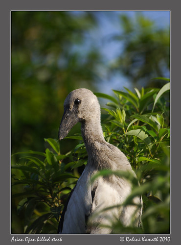 Asian Open Billed Stork