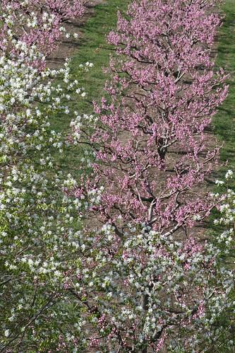 saskatoon-blossoms-orchard
