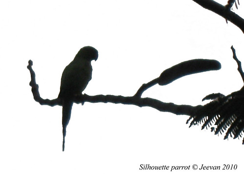 Silhouette parrot