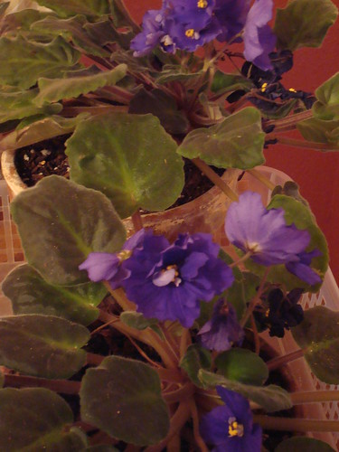 My Beatiful African Violets #2