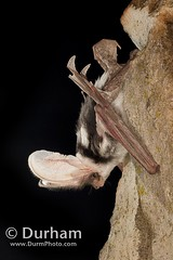 spotted bat (Euderma maculatum) (Michael Durham) Tags: arizona night nocturnal kaibabnationalforest eudermamaculatum spottedbat