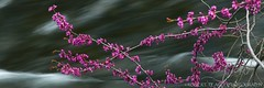 Redbuds and Merced River, El Portal.  April 12, 2010 (Robert Pearce Photography) Tags: california flower water river landscape spring blossom pano panoramic bloom april 31 redbud 2010 mercedriver flowingwater nikond200 robertpearce robertpearcephotography