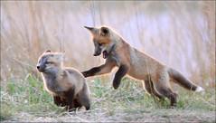 Run!!! (gainesp2003) Tags: red cute puppies babies play fox kits kit naturesgreenpeace