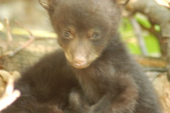 Yeah, it's blurry, but this was just the cutest pose (A. Drauglis) Tags: bear black cub virginia twins alone nps young blackbear firstyear centraldistrict shenandoahnationalpark ursusamericanus snp whereisyourmother upperdarkhollow upperdarkholla reallywhereisyourmother