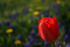Red Dot (Axxolotl) Tags: flowers nature colors spring colorful natur blumen tulip bunt farben frühling tulpe löwenzahn traubenhyazinte