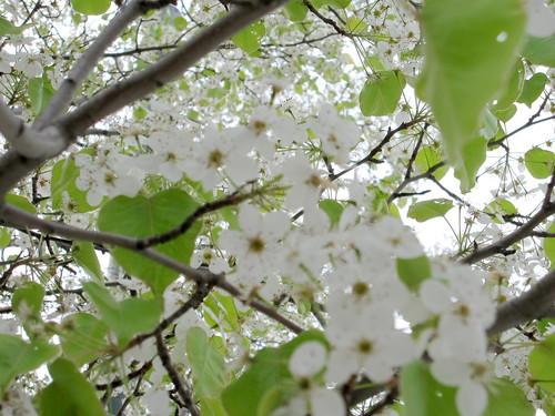 flowering tree - white blossoms