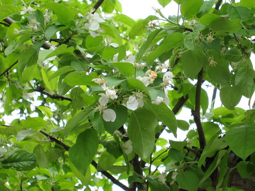 flowering tree  - white sprays