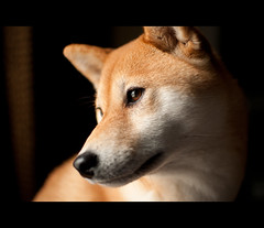 Her Eyes (kaoni701) Tags: portrait dog dogs 35mm pose puppy japanese eyes nikon dof bokeh naturallight fox nikkor f18 suki shibainu shiba afs dx inu lr3 catchlight shibaken 柴犬 d300s
