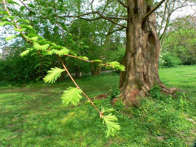 Urweltmammutbaum in Braunschweig