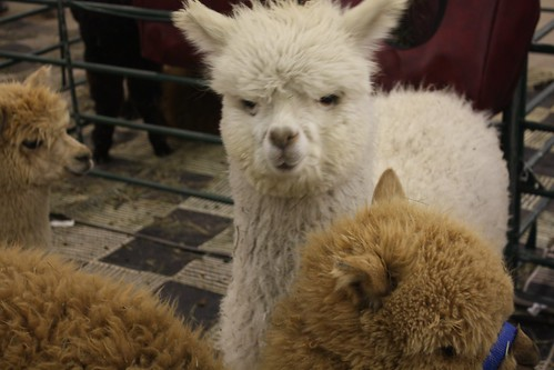 UNAMUSED ALPACA IS UNAMUSED