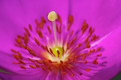 california pink bali flower color yellow canon garden furry photographer purple stamen pistol april marco stigma 2010 anthers droh mikaku doliveck balifornian michaeldoliveck