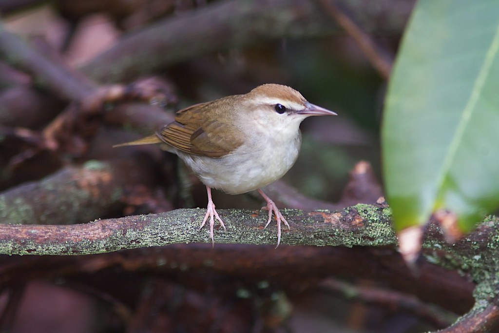 Swainson's Warbler with rhododendron leaf, WV