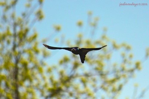 common grackle flight. Common Grackle in flight
