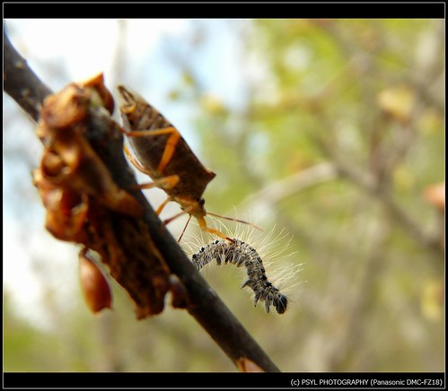 Shield Bug and Eastern Tent Caterpillar 2