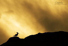 Loneliness... (Sandeep Somasekharan) Tags: bird silhouette nikon solitude alone cloudy sandy dramatic lonely nikkor drama hoopoe 300mmf4 d300s sandeepsomasekharan sandyclix