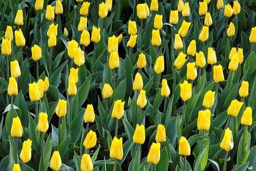 Keukenhof Yellow Tulips