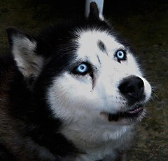 Nala - Ritratto/Portrait 1 (m4flickr) Tags: blue dog ice cane nose eyes husky occhi sguardo nala muso ghiaccio azzurri