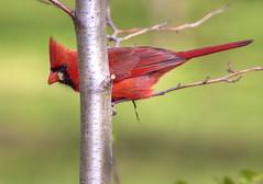 Cardinal (Indydan) Tags: bird canon garden botanical cardinal jardin botanique oiseau 2010 jardinbotanique jbm 100400 50d jardinbotaniquemontral canoneos50d canonef100400lis